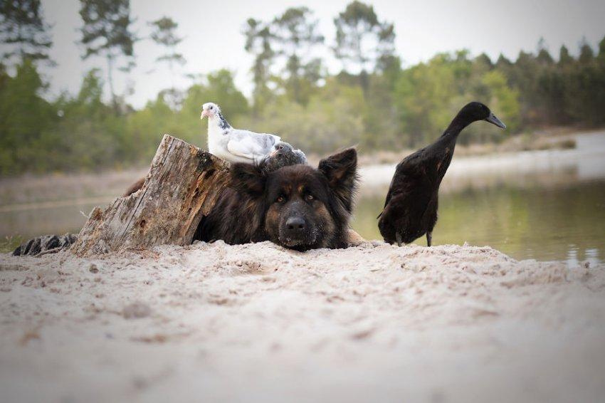 Серия фотографий трогательной дружбы между собакой и уткой