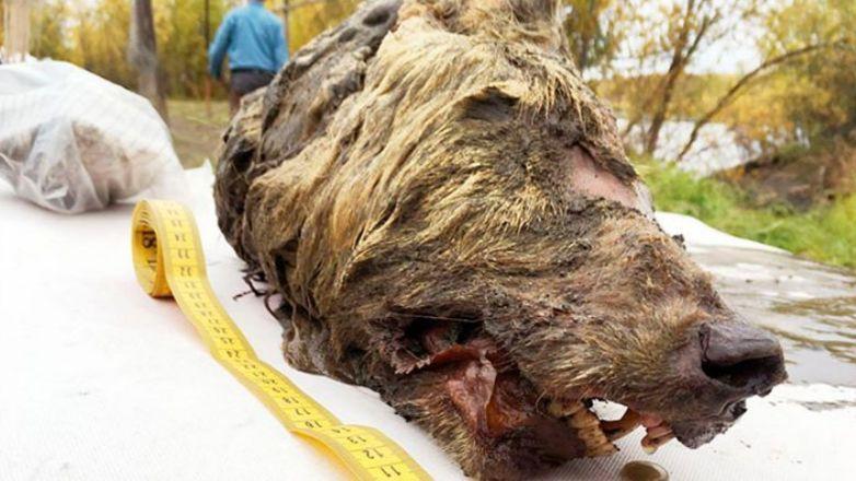 Голова волка возрастом 40 тысяч лет: удивительная находка в Сибири