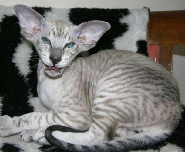 10 фото самых уродливых кошек, которых вы когда-либо видели