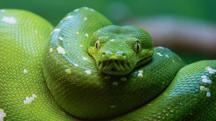 Характеристика и совместимость людей, родившихся в год Змеи