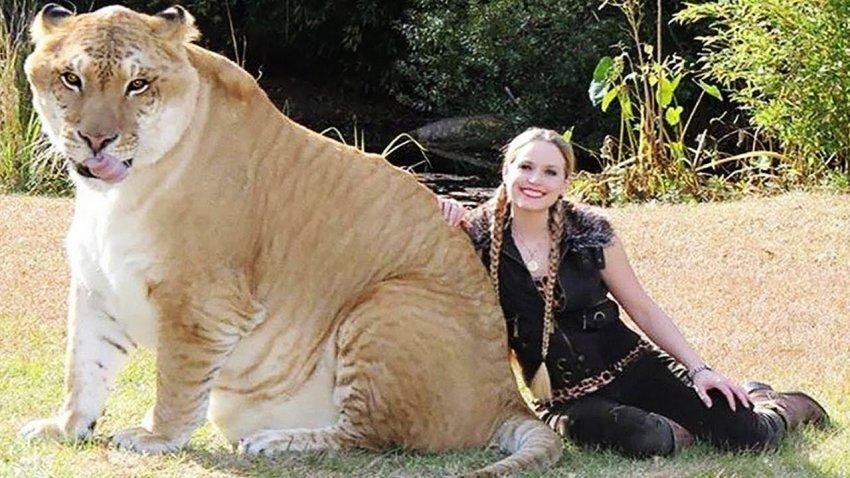 В Южной Каролине живет огромный лигр по кличке Аполлон