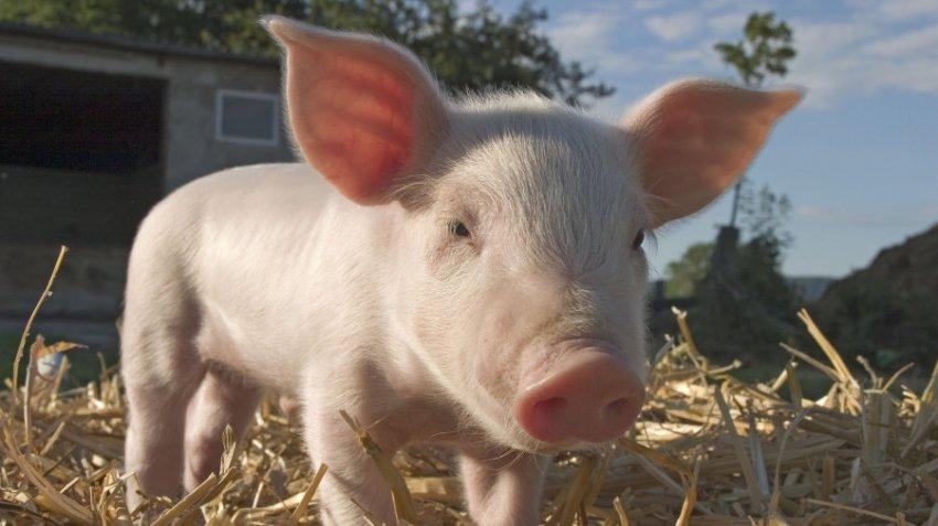 Характеристика и совместимость людей, родившихся в год Свиньи