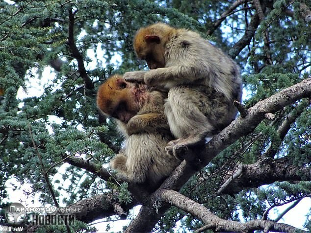 Стая диких обезьян подобрала раненого сородича из чужой группы, кормила его, заботилась и вылечила - Paranormal-news.ru