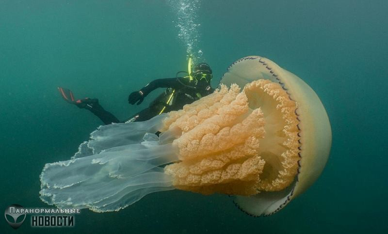 У берегов Англии засняли медузу размером с человека | Любопытное видео | Паранормальные новости