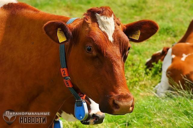 Высосали заживо: В Северной Каролине тысячи клещей убили пять коров | Загадки планеты Земля | Паранормальные новости