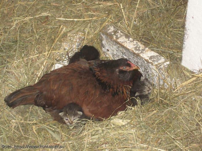 10 фотографий, подтверждающих, что курицы – лучшие матери в животном мире