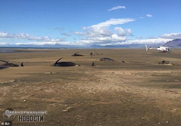 Загадка 50 мертвых гринд, которых выбросило на берег Исландии | Загадки планеты Земля | Паранормальные новости