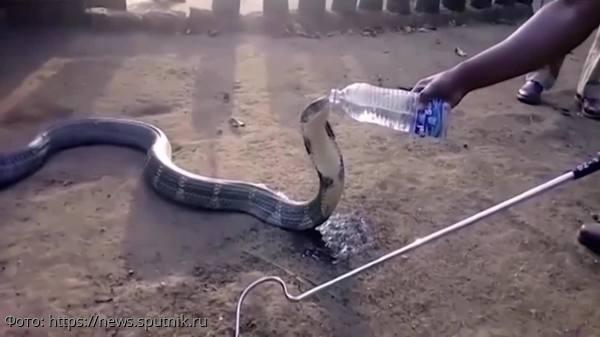 Огромная кобра приползла в индийскую деревню, чтобы попросить помощи у людей