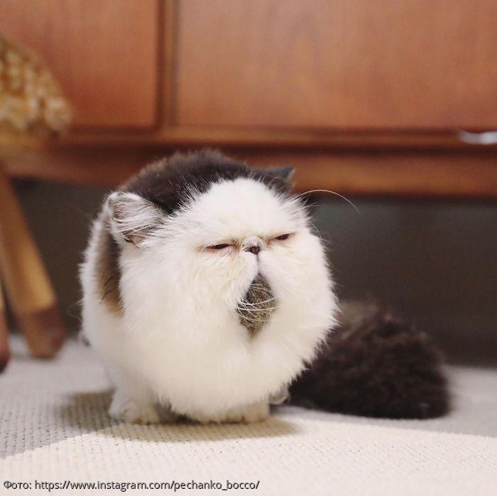 В Сети набирает популярность необычный кот с круглой мордой и узкими глазами