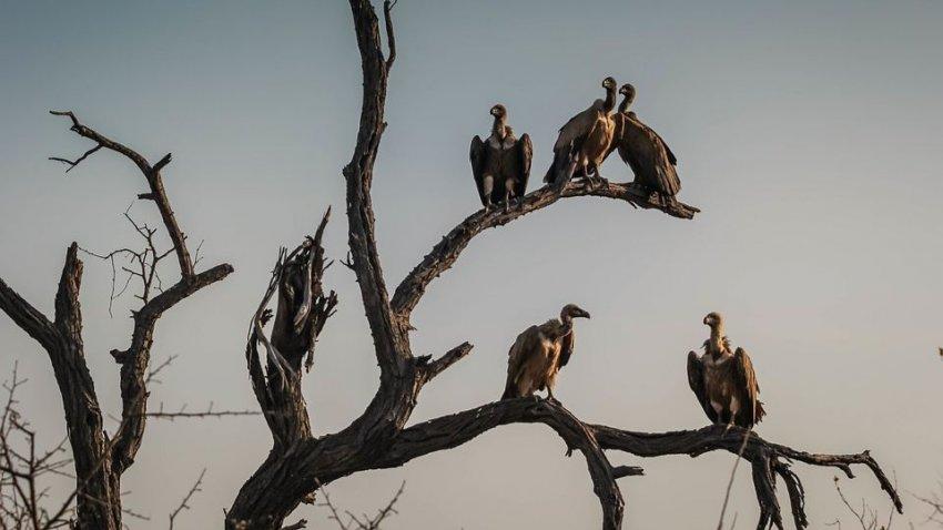 Грифы теперь не падальщики: в США птицы начали поедать живых телят