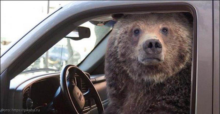 Медведь угнал чужую машину, устроил ДТП и скрылся с места происшествия