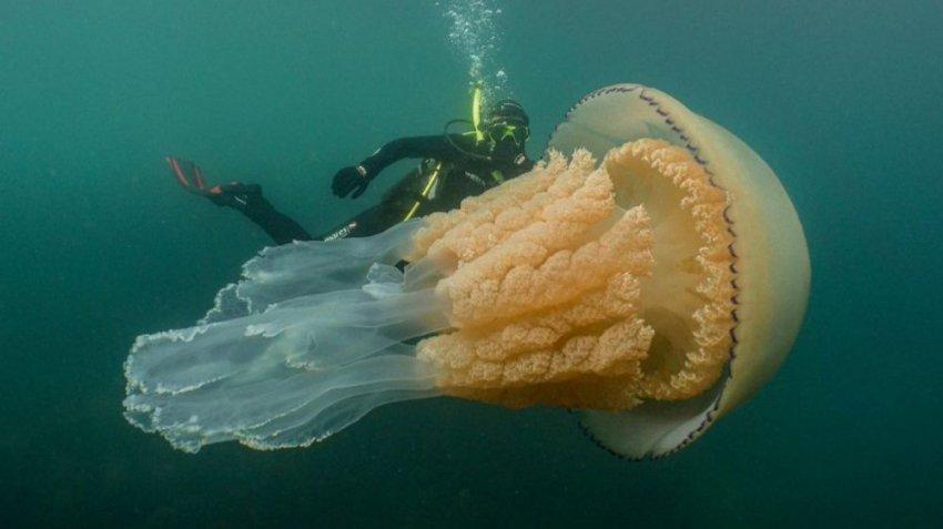Медуза размером с человека: дайверы наткнулись на гигантское морское существо