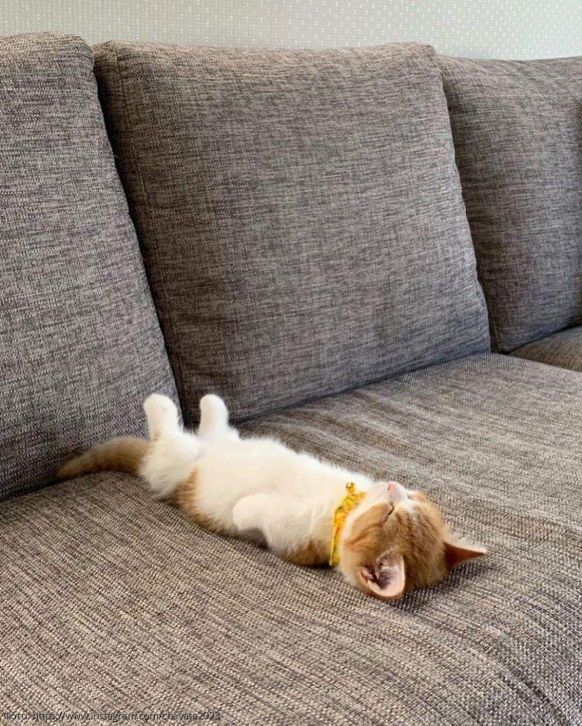 В Сети набирает популярность котенок, который спит, как человек