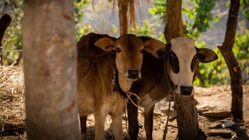 Высосали всю кровь: тысячи клещей убили пяти коров в Северной Каролине