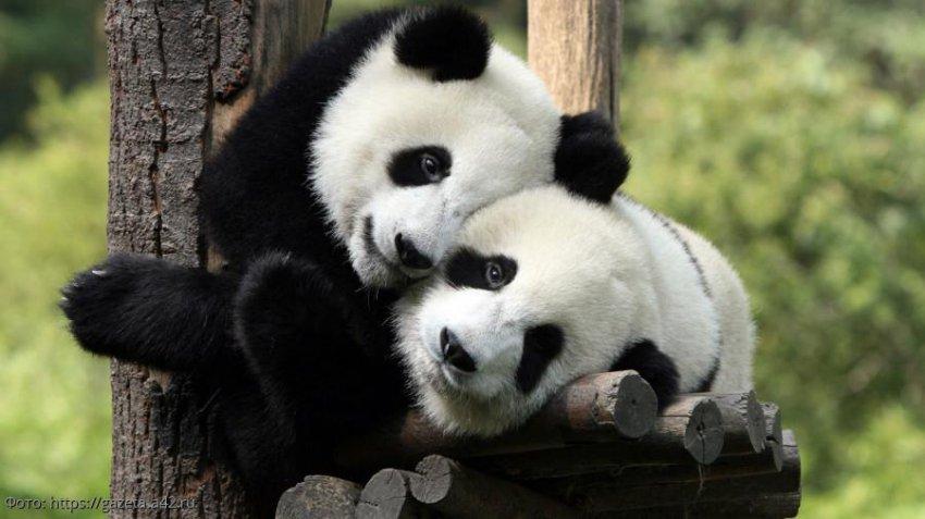 В Московском зоопарке отмечают дни рождения панд