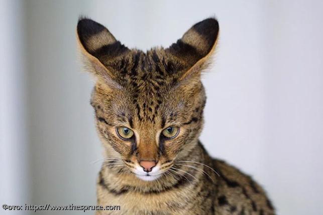10 самых странных пород кошек