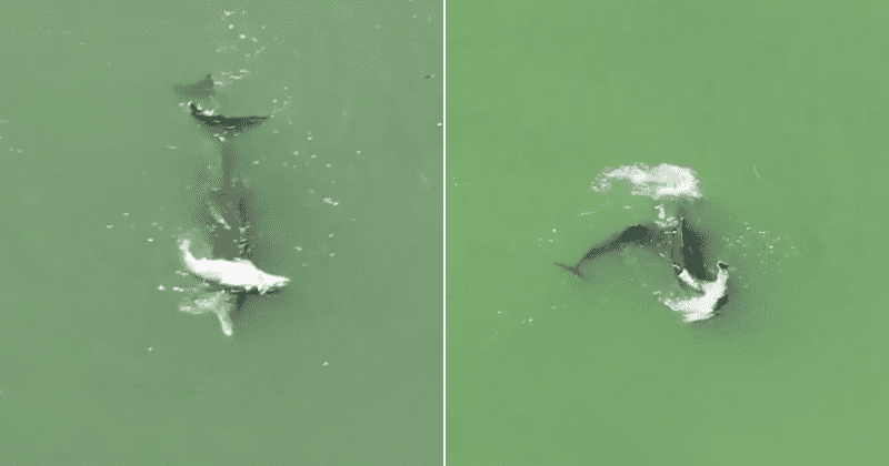 Дельфины пытаются оживить своего погибшего детеныша: в Сети появилось душераздирающее видео