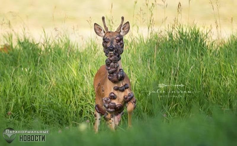 В лесах Миннесоты засняли жуткого оленя | Болезни и мутации | Паранормальные новости