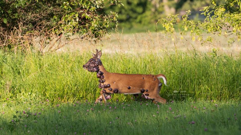 Наросты размером с яблоко: в США обнаружен олень пораженный вирусом папилломы