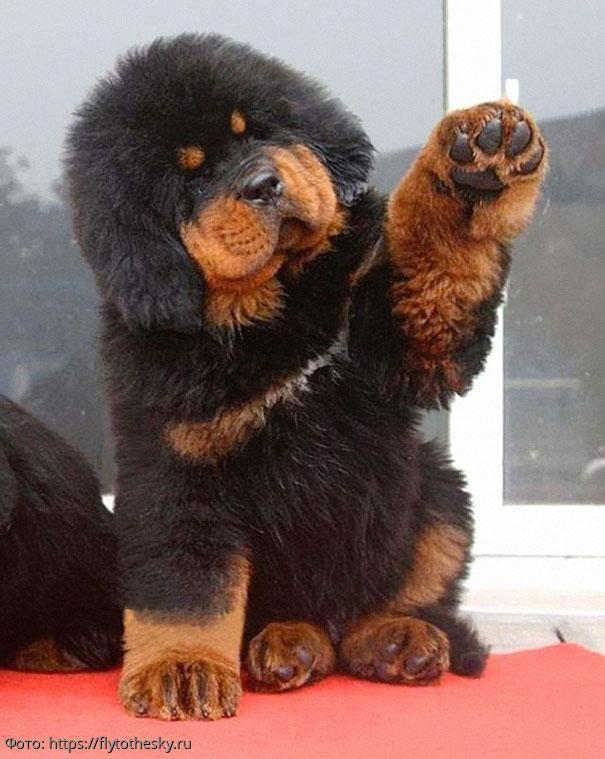10 фотографий собак, которые удивительным образом похожи на медведей