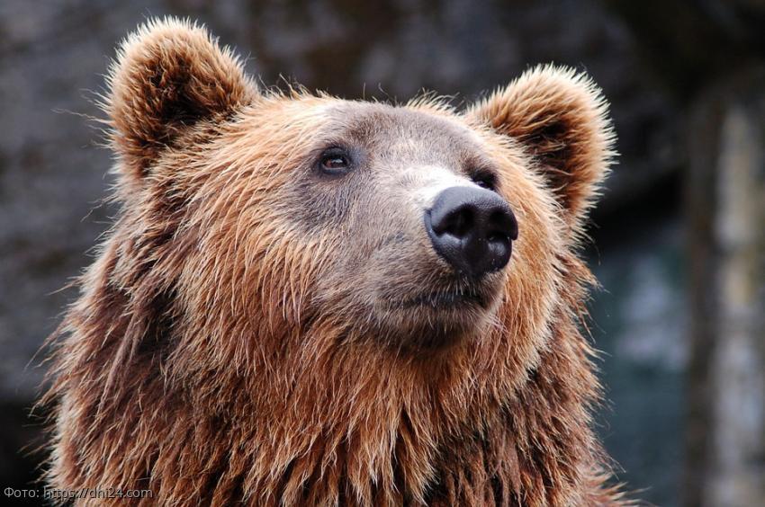 Пенсионерка сутки отпугивала медведя рыком