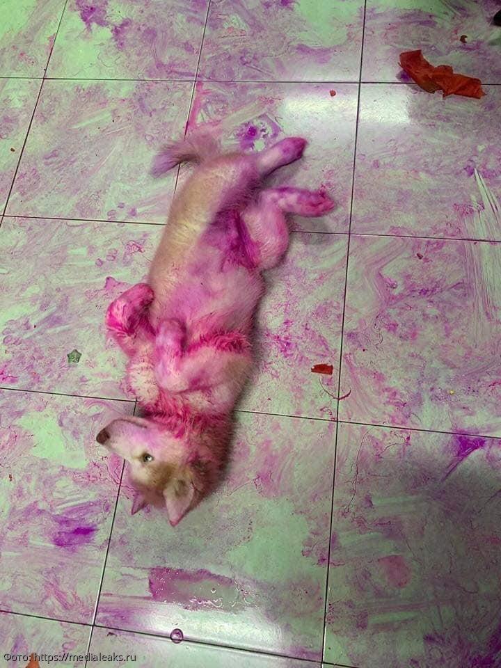 Парень оставил двух хаски одних дома, а те перекрасили ему пол в квартире