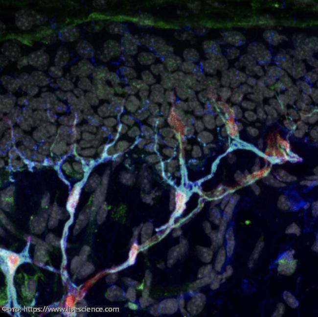 Ученые Каролинского института обнаружили неизвестный ранее орган, заставляющий чувствовать боль