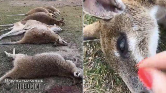 На севере Австралии загадочным образом умирают кенгуру, причина смерти до сих пор неизвестна | Загадки планеты Земля | Паранормальные новости