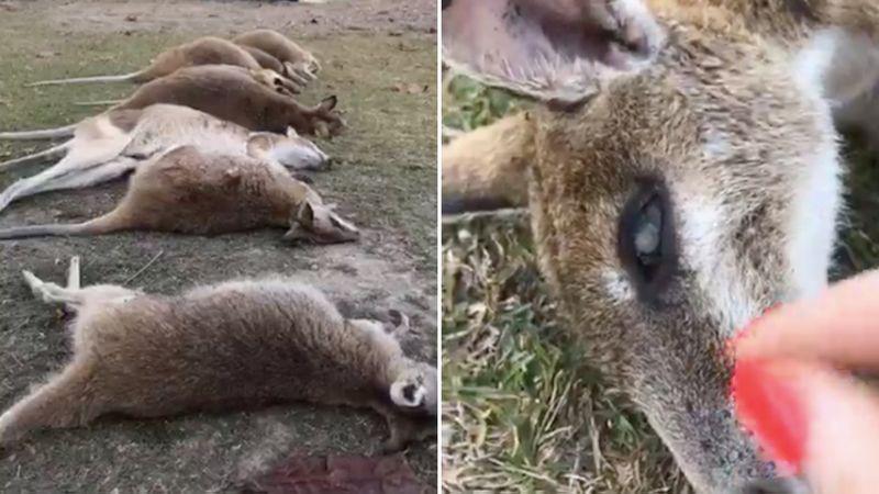 На севере Австралии гибнут кенгуру: ученые не могут объяснить происходящее