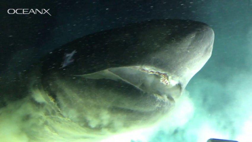 Акула размером с подлодку: ученым удалось заснять огромного доисторического монстра