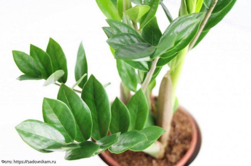 Комнатные растения, которые приносят удачу