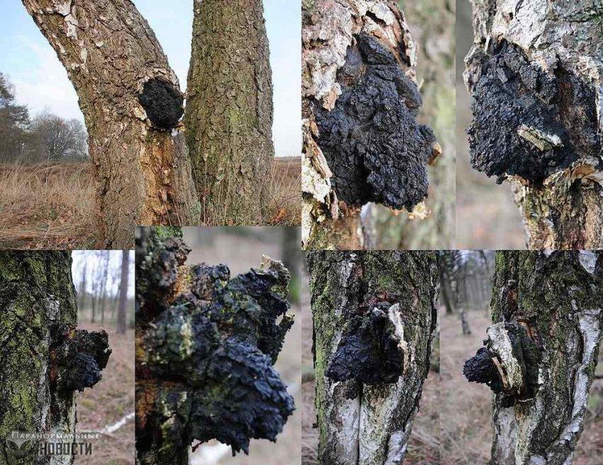 Чудо-Чага: Китайцы удивляются целебной силе российского гриба | Загадки планеты Земля | Паранормальные новости