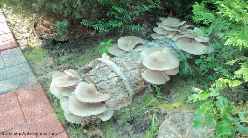 Способы выращивания грибов на своей даче