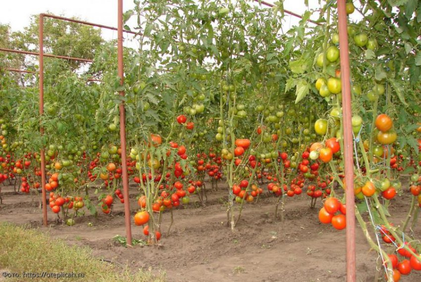 Особенности выращивания помидоров на даче без теплицы