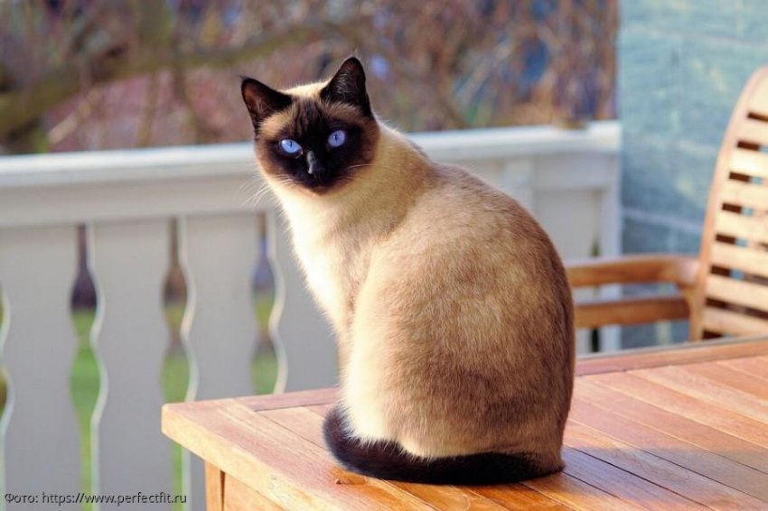 5 пород кошек, которые постоянно будут рядом с вами