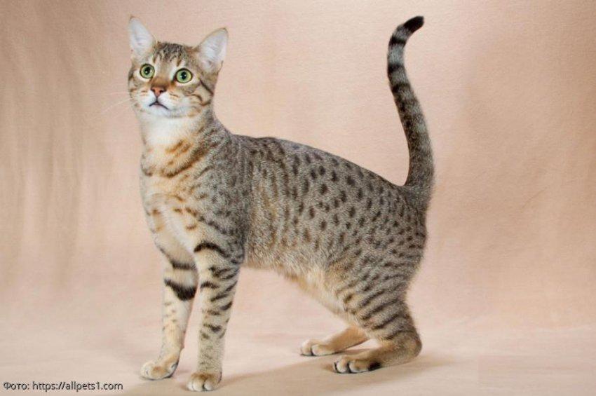 Породы кошек, которые напоминают тигров, леопардов, пантер