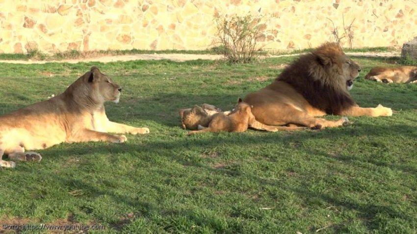 Львы: уникальные животные с социальной структурой жизни