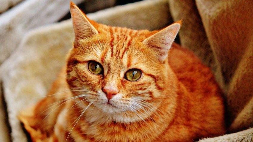 Китайская компания планирует массово продавать клонированных котов