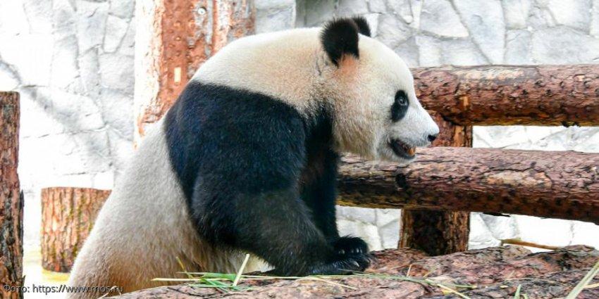 В Московском зоопарке бесплатно покажут фильм про панд