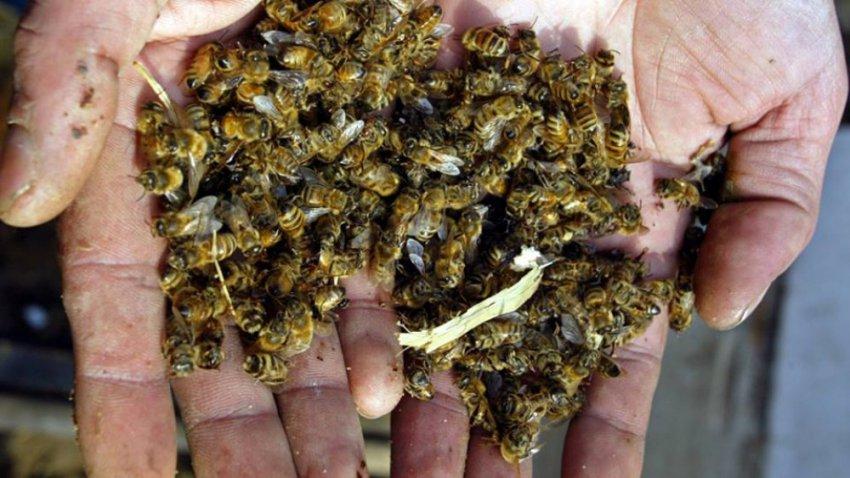 Если с лица земли исчезнут пчелы, то человечество просуществует 4 года