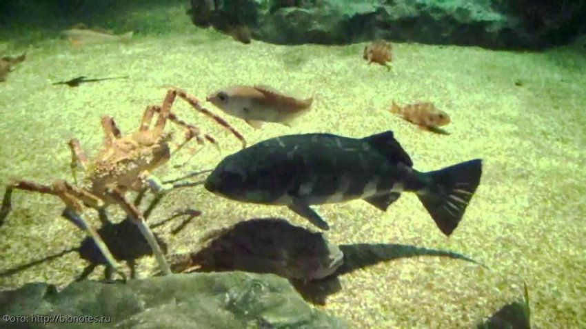 Морской монах: очень редкая рыба, выловить которую можно лишь у острова Хонсю