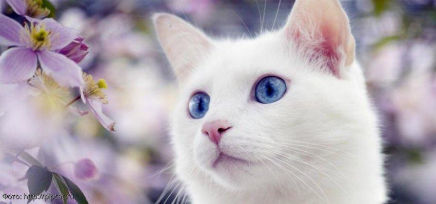 Некоторые приметы о белых кошках