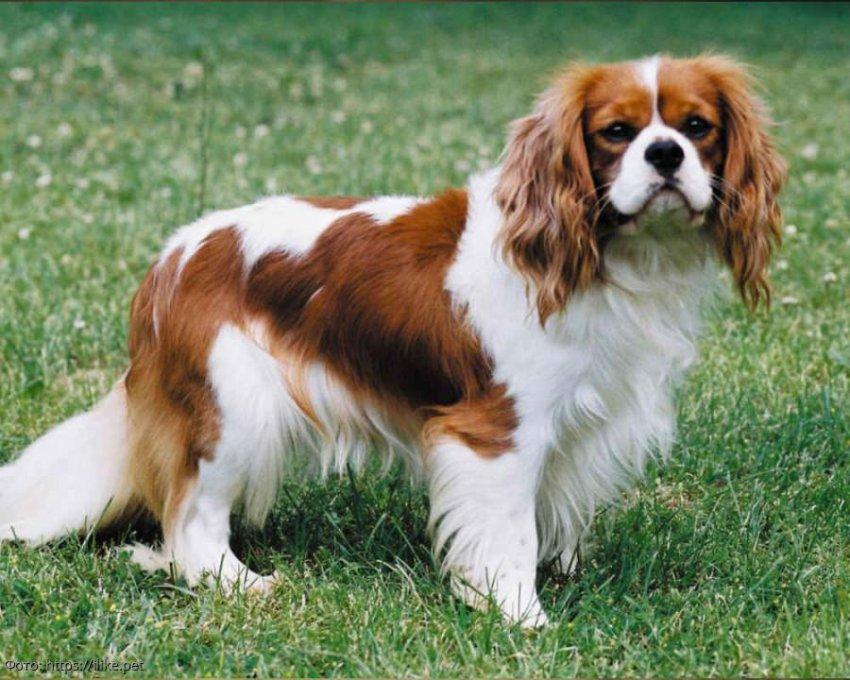 6 пород собак, которые почти не лают