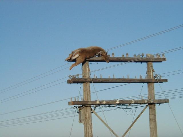 В Канаде на столбе линии электропередач обнаружили мертвого оленя: опубликовано фото
