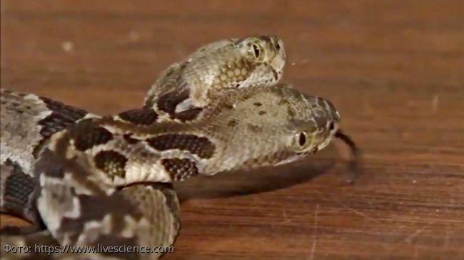В Нью-Джерси найдена редкая двуглавая гремучая змея