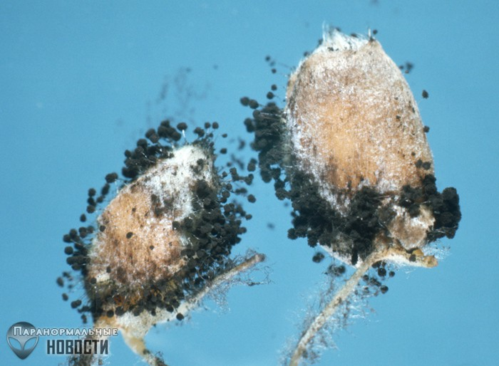 Ухо женщины заросло ...грибами   Болезни и мутации   Паранормальные новости