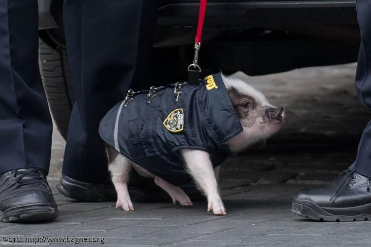 Свиней планируют использовать для работы в правоохранительной системе России
