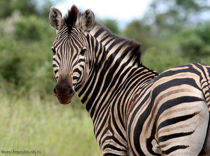 Австралийские ученые рассказали о функциях полос у зебры