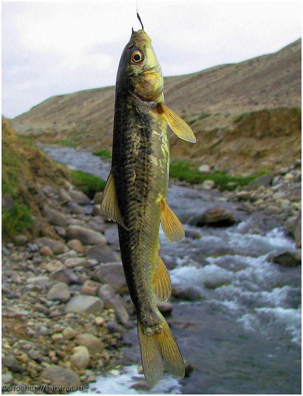 Опасность ядовитых речных рыб