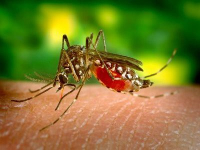 В Бразилии генетики провели неудачный эксперимент с ГМ-комарами